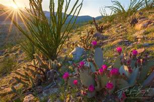 anza borrego flowers art in nature desert springshine anza borrego wildflowers