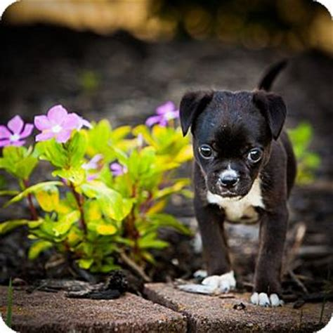 pugs for adoption in michigan josie adopted puppy garden city mi boston terrier pug mix