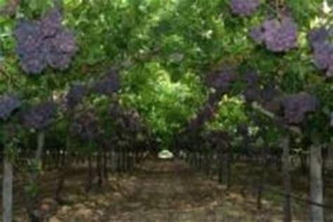 pianta di vite in vaso vite uva uva