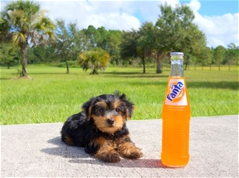 yorkies for sale orlando fl yorkie puppies for sale in florida buy teacup terrier orlando miami