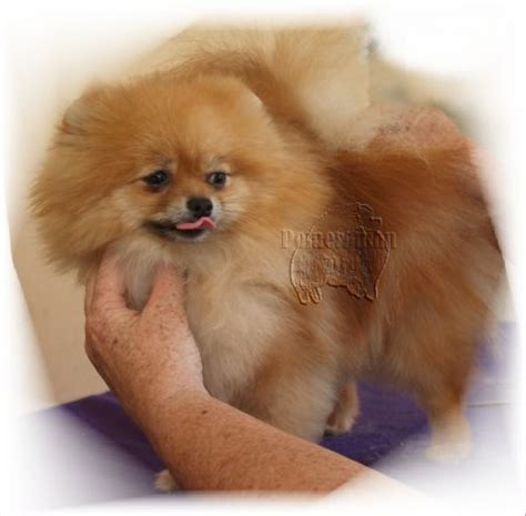 pomeranian coat care caring for your pomeranian s coat pomeranian grooming