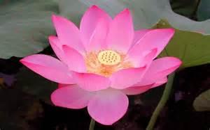 Lotus Flower Location - 1920x1200px 728890 lotus flower 760 8 kb 20 04 2015
