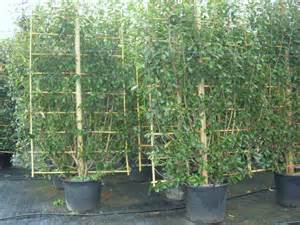 6 Foot Wide Trellis Photinia Robin On Trellis 6ft 6in High X 5ft Wide