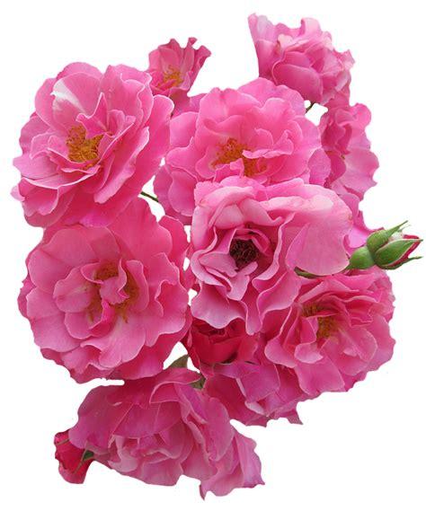 pink flower garden free photo roses pink flowers garden roses free