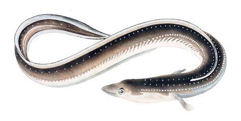 anguilla japonica wikispecies