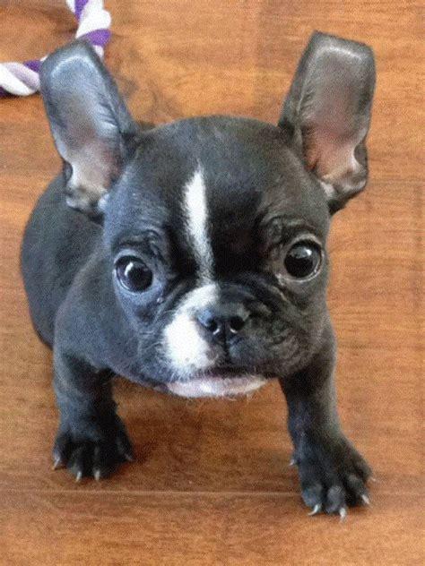 boston bulldog puppies for sale 25 best ideas about bulldog puppies for sale on bully for sale