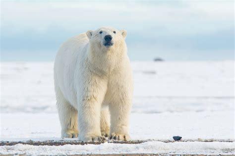 Polar Beirut Penguins Polar Bears Same Same But Different Peregrine Adventures