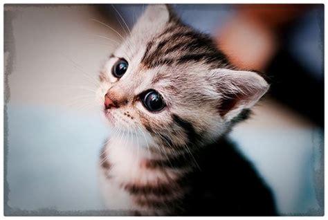 imagenes gatitos hermosos fotos de gatitos bebes hermosos archivos gatitos tiernos
