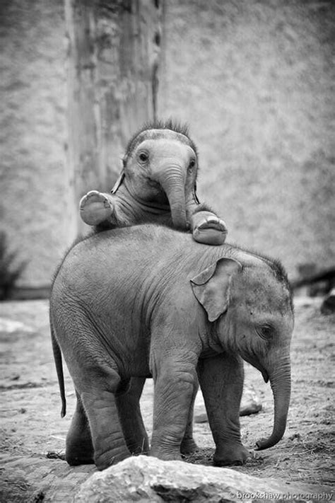 8 Facts On Elephants by 1000 Images About Elephants On Elephant Facts