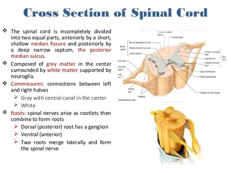 describe the cross sectional anatomy of spinal cord anatomy of the spinal cord