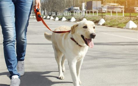 how to your to walk you cushing s disease in dogs canna pet