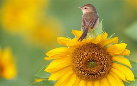 bird on sunflower wallpaper
