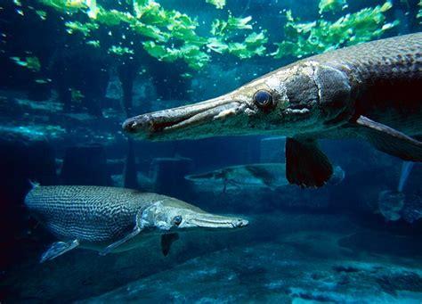 Ikan Alligator Gar wah gawat sungai waduk indonesia di intervensi oleh ikan piranha aligator kaskus the