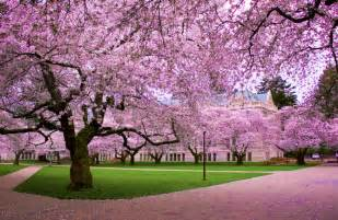 a spectacle in pink see the cherry trees blossom in