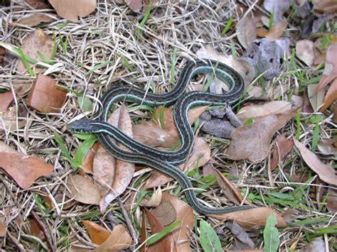Garden Snake Florida by Blue Striped Garter Snake Thamnophis Sirtalis Similis
