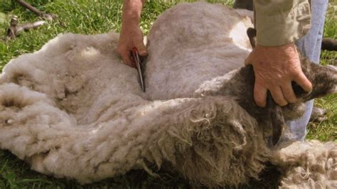 yahwehs children sheep