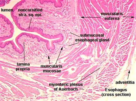 focal serosal adehesions serosa adventitia bladder mouse