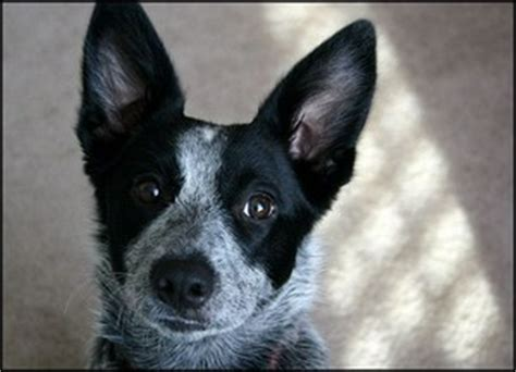 border collie blue heeler mix puppies for sale queensland heeler border collie mix free hd desktop wallpapers for widescreen high