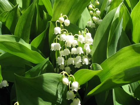 Flower Arranging How To Grow And Care For A Lily Of The Valley Convallaria