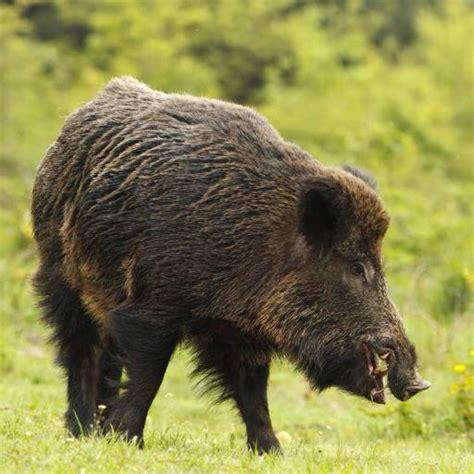 wann wird hoher blutdruck gefährlich pixwords das bild mit tier schwein eber zagrosti