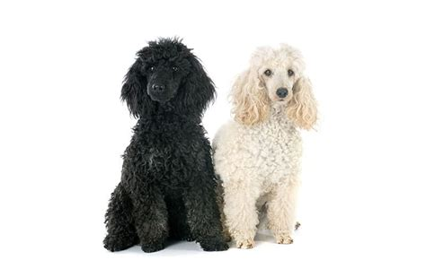 popular poodle names chocolate poodle names wow
