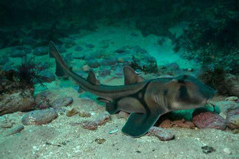 jackson shark jackson shark abc news australian broadcasting