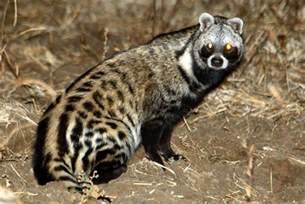 African Civet - A - Z Animals