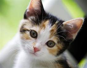 Virginia Industry For The Blind What Is A Calico Cat With Pictures