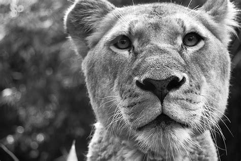 imagenes de leones a blanco y negro fotos gratis en blanco y negro fotograf 237 a animal
