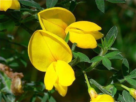 fiore di ginestra fiori ginestra fiori di piante i fiori della ginestra