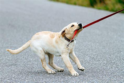 pulling on leash leash animal stock photos kimballstock