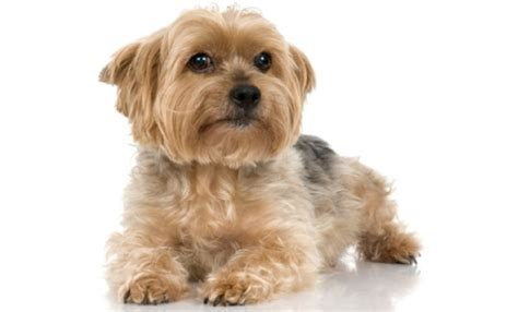 Types Of Small Dogs That Don T Shed by Breeds That Don T Shed Breeds That Don T Shed Find
