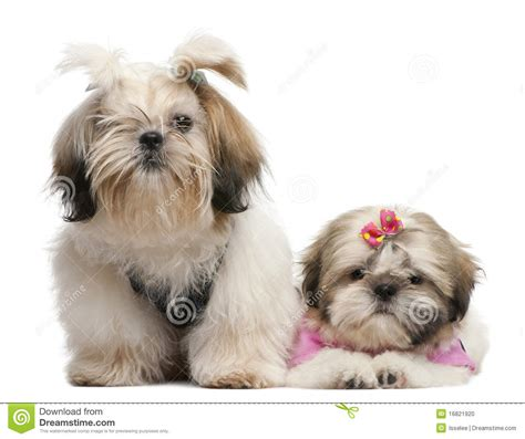 shih tzu 2 months shih tzu s 7 months and 3 months stock photo image 16821920