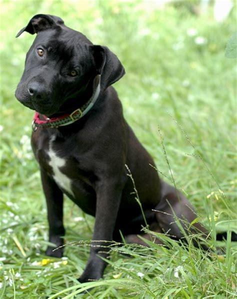lab pit puppies lab pitbull mix temperament breeds picture