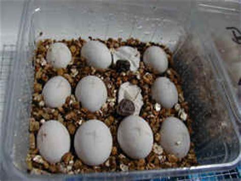 alimentazione camaleonte le femmine depongono le uova tra le 2 3 settimane dopo l