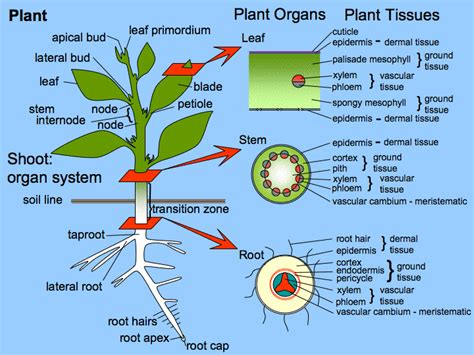 Https Www Scheller Gatech Edu Support Bio Book Mba Picturebook Mba 2019 Html by Plant Development I Tissue Differentiation And Function