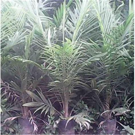 Bibit Sengon Siap Tanam cara menanam bibit kelapa sawit ke lahan perkebunan