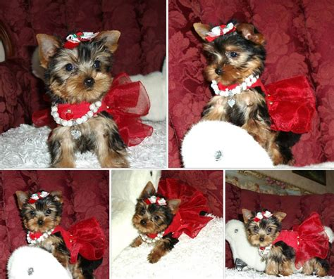 parti yorkie pictures dress parti yorkie pictures best dresses