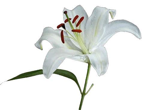 il fiore giglio 21 12 2012 333 o 3333 di s p500 10 pagina 30