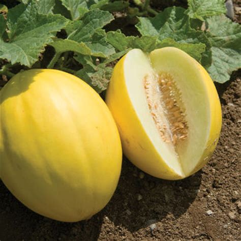 brilliant f1 melon seed johnny s selected seeds