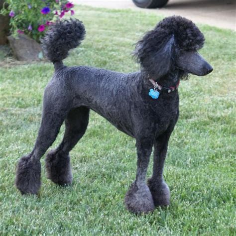 standard poodle face hair cuts 93 best images about poodle on pinterest