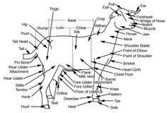 elk anatomy diagram elk anatomy diagram elk free engine image for user
