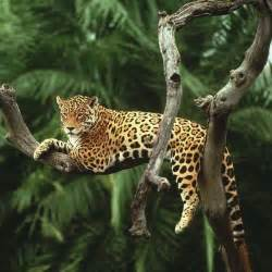 What Country Are Jaguars From Wildlife Conservationists To Up Awareness Drive On