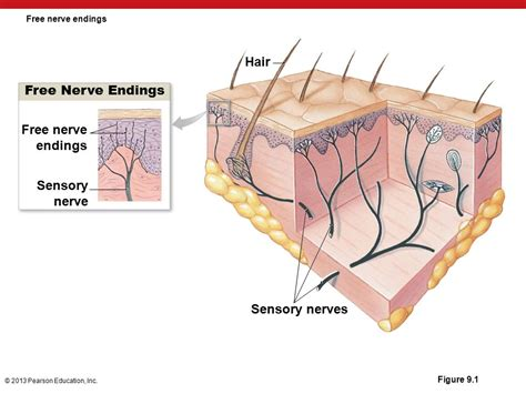 hair sensory hairs definition of sensory hairs by the 9 the senses ppt download