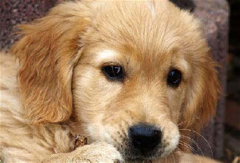 top golden retriever names best golden retriever names images