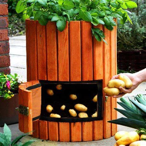 how to grow potatoes in a barrel horticulture