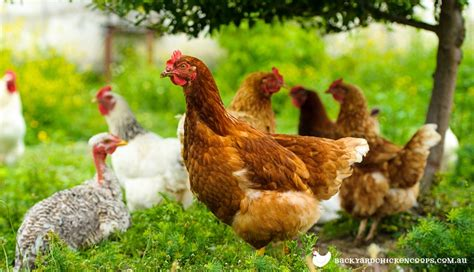 Chickens 101 The Basics Of A Backyard Flock by Chicken Find A Word Chicken