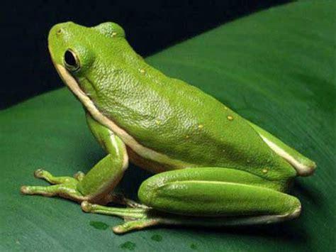 imagenes d ranas alegres ejemplos de anfibios