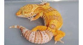 Jual Dipong Murah Kaskus jenis jenis gecko hewan indonesia dan jual beli