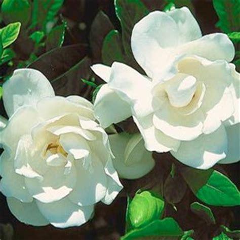 fiori di gardenia vino di gardenia